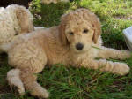aprcot labradoodle puppy