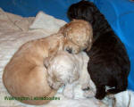 labradoodle dog family