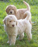 pictures of labradoodle dog breed