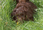 labradoodle in the grass