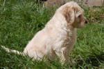 labradoodle in sitting in the grass