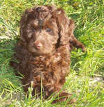 choclolet labradoodle puppy