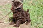 chocolate mixed poodle with stick in his mouth