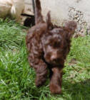 labradoodle puppy running in the grass
