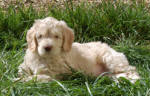 aprcot labradoodle puppy picture