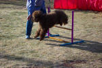 labradoodle jumping and  playing