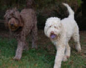 standard labradoodle puppies